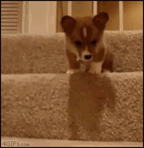 corgi puppy gif the cutest corgi gifs seen