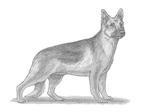 how to draw a german shepherd how to draw a german shepherd