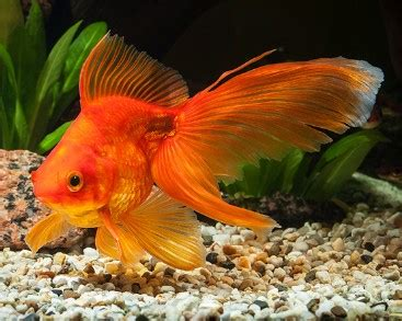 colorful goldfish 6 best goldfish food for growth color 2019 reviews