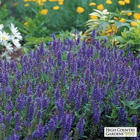 17 best images about salvia on pinterest hummingbirds purple salvia and spikes