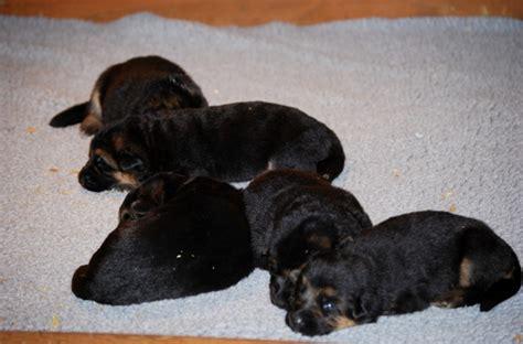 2 week puppies 6 week german shepherd puppy newhairstylesformen2014