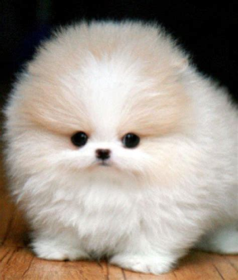 white fluffy teacup pomeranian puppies image gallery micro pomeranian