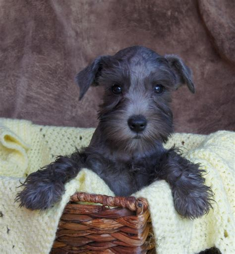 black miniature schnauzer puppies black mini schnauzer puppies www imgkid the image kid has it
