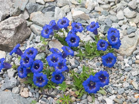 genziana fiore foto gratis genziana fiore di montagna fiori immagine