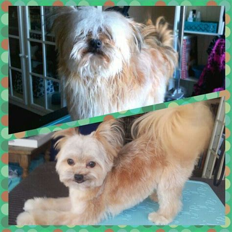 dog haircuts edmonton 135 best images about quot before quot quot after quot dog grooming