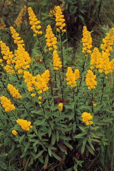 solidago speciosa showy goldenrod flowers and plants pinte