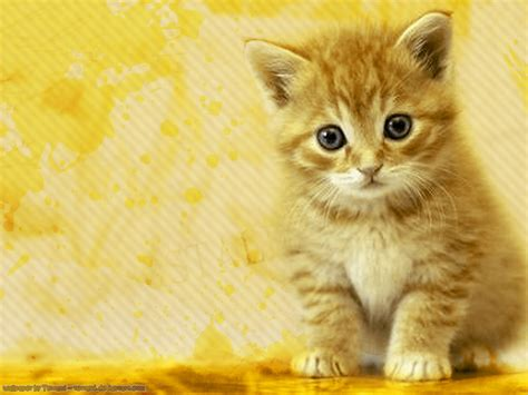 wallpaper of cat wallpapers world cats wallpapers