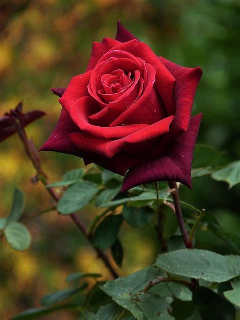 red rose pesquisa google roses garden pinterest