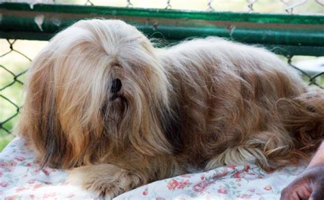 Do Lhasa Apso Shed by Small Breeds That Don T Shed 17 Dogs You Ll Adore