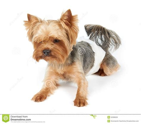 diapers for yorkies in diapers stock photo image 55368529