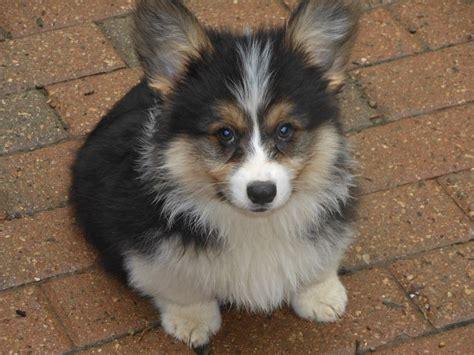buy corgi puppy fluffy puppy corgi watsoncorg
