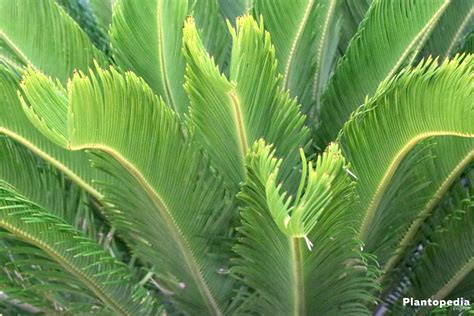 king sago palm plant cycas revoluta   care indoors