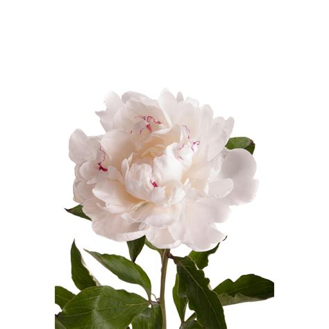 Make Home Design Online Free White With Red Peonies Peonies Types Of Flowers
