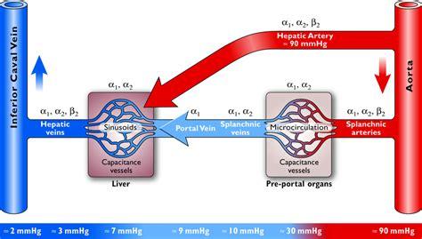 splanchnic bed splanchnic circulation mesenteric circulation