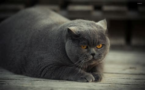 wallpaper yellow cat gray fat cat with yellow eyes wallpaper animal