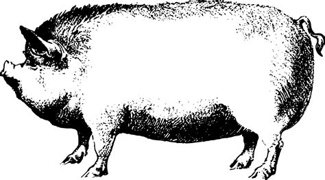 pig clipart black and white realistic pig clipart