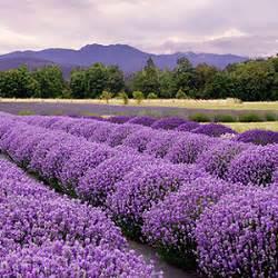 Wie Pflege Ich Lavendel 4886 by Balkonpflanzen Lexikon Pflanzen Auf Dem Balkon
