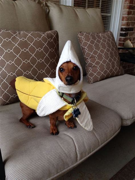 costume for dachshund 25 best costumes ideas on