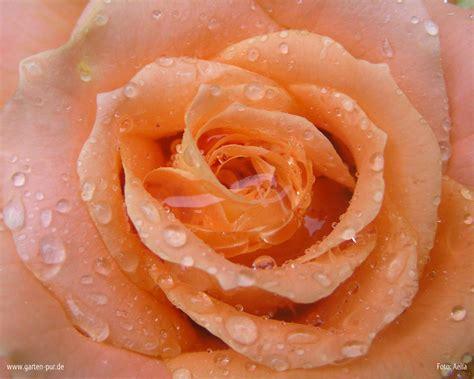 imagenes de rosen up wallpaper rosen vorschau