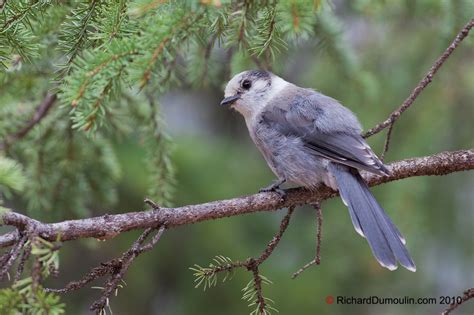 gray jay in photo s richarddumoulin com