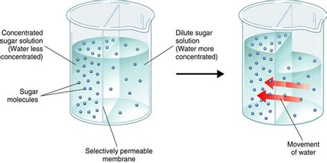 osmosis diagram biology esl osmosis