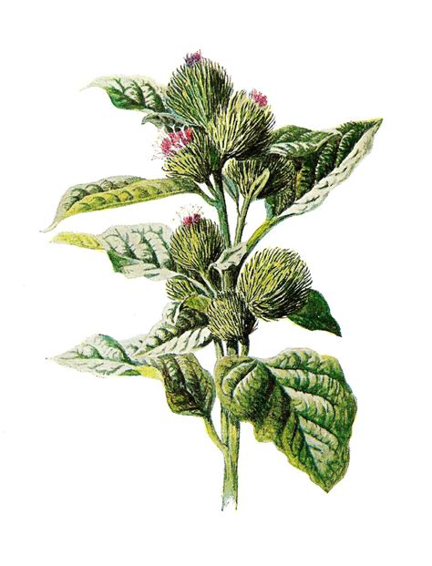 the botanical art files antique images digital wildflower image of purple flower burdock clip art