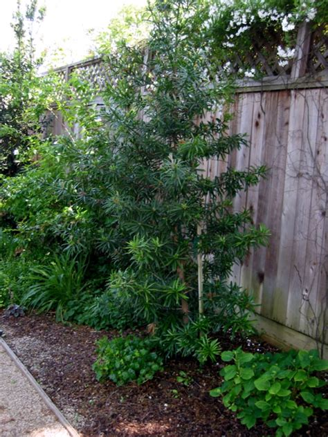 podocarpus henkelii neighborhood nursery
