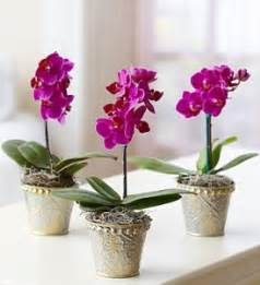 miniature plants for sale phalaenopsis orchids for sale lots of plants in one place