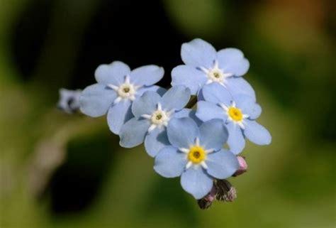 fiori azzurri nomi fiori azzurri elenco e foto idee green