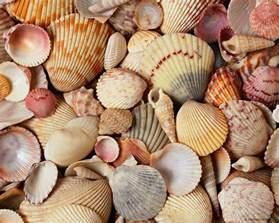 shell wallpaper sea shells wallpapers wallpaper cave