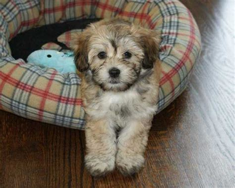 havanese puppies for sale canada 17 best ideas about havanese puppies for sale on