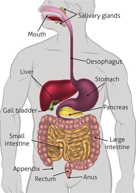 anatomy   digestive system human digestive system