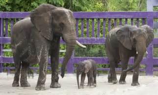 baby elephant born  disneys animal kingdom takes centre