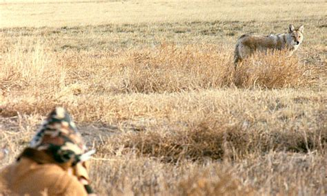 coyote challenge call for centuries has imitated sounds to attract the