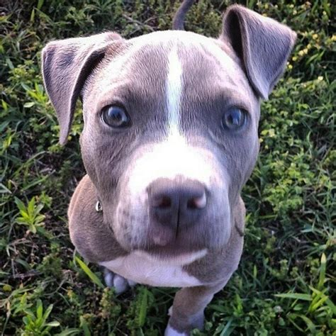 Pit Bulls On Twitter Quot Http T Co 5hjx6i6kkd Quot Pit Gallery