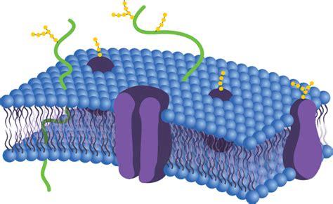 phospholipid bilayers biology libretexts