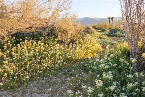 anza borrego desert flowers anza borrego desert wildflowers in spring california go