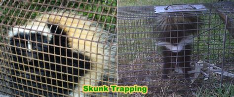 Getting Rid Of Skunks Shed by How To Get Rid Of Skunks Your Shed Or House Without
