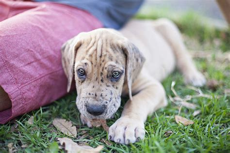 Danes Has A New by Meet Mozart Our New Great Dane Puppy Travel Heals