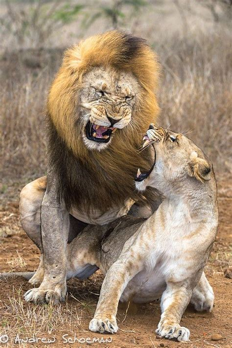 african animals mating videos lion aggression by andrew schoeman yea i think some