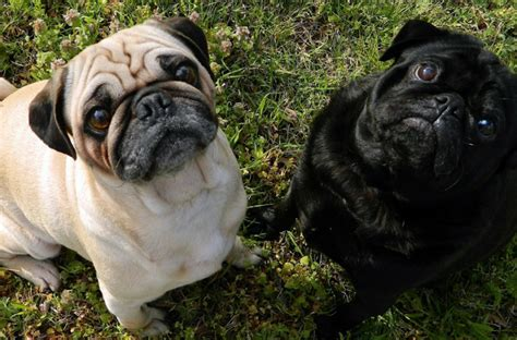 why pugs are the best dogs 23 reasons why pug faces are the best dogbuddy