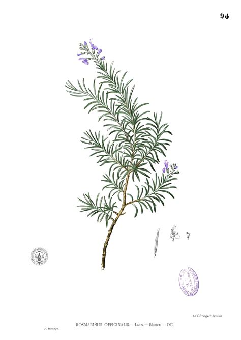file rosmarinus officinalis blanco1 94 png wikimedia commons