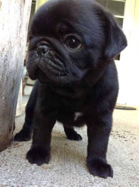 when do pug puppies stop growing 17 best images about fluffy things on pug black pug puppies and
