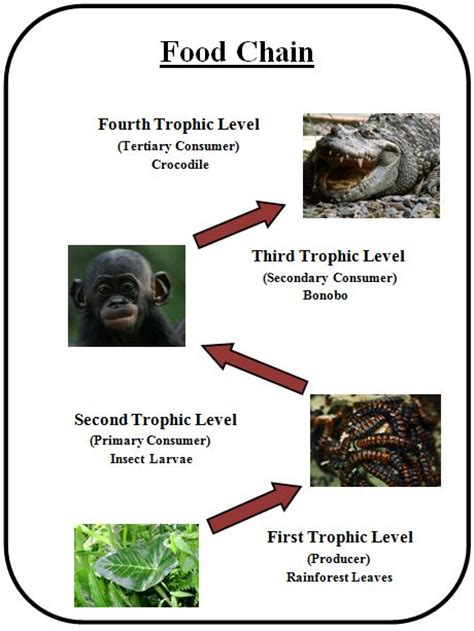 chimpanzee food chain diagram endangeredspeciesbiomesprojects bonobo