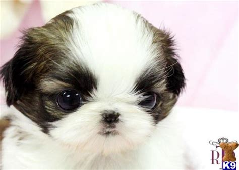 teacup shih tzu puppies for sale in houston shih tzu puppy for sale royal teacup shih tsu puppy 7 years