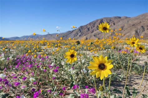 wildflowers anza borrego palm springs and the desert resorts photo gallery fodor