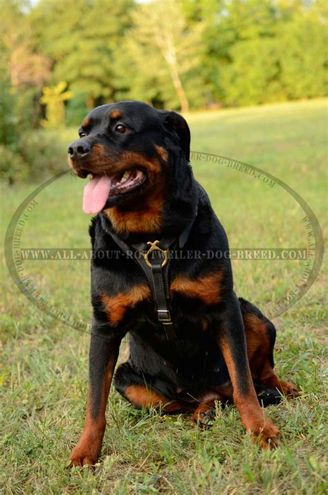 harness for rottweiler order tracking genuine leather rottweiler harness brass fittings