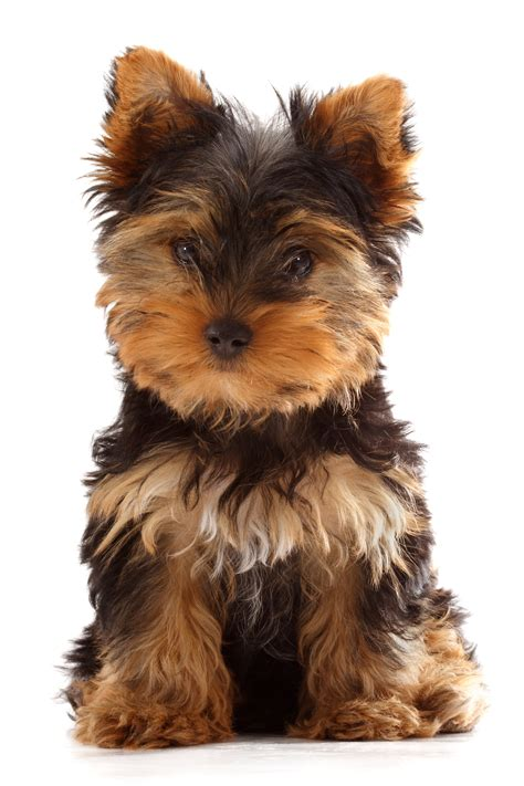 what were yorkies bred to do green acres kennel shop words woofs and meows about cats and dogs and their