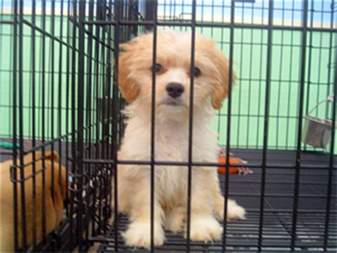 pet store that sells puppies pet stores that sell puppies images