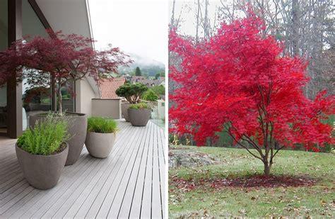 arboles decorativos arce japon 233 s un precioso 193 rbol para tu jard 237 n ideas